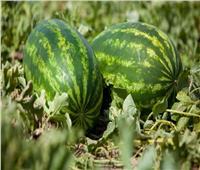 سر الشليان.. كيف حول المصريون البطيخ إلى «مخلل»؟