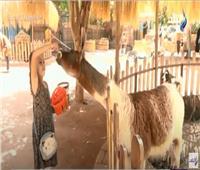 استعدادات حديقة حيوان الجيزة لعيد الأضحى.. فيديو