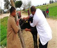تحصين 82 ألف رأس ماشية بالشرقية ضد الحمى القلاعية والوادي المتصدع