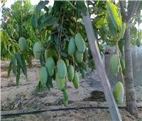 الإرشاد الزراعي يحدد توصيات للحفاظ على محصول المانجو خلال يوليو
