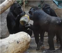 يحدث في مصر.. توزيع «مثلجات» على الحيوانات لانتشالها من «الاكتئاب»