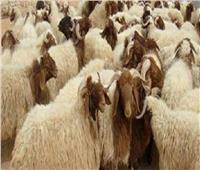 تعرف على أماكن شوادر التموين لبيع الخراف الحية على مستوى المحافظات