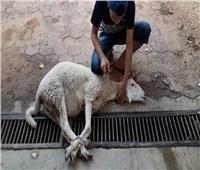 في أول أيام العيد.. طفل يلقي دماء الأضاحي على المارةبالفيوم
