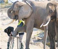 باديكير وتدليك للأفيال