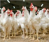 الزراعة تكشف أسباب استقرار سعر الدواجن.. فيديو