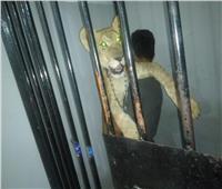 حبس 3 أشخاص بتهمة التجول بـ«أسد» في قرية بالعين السخنة
