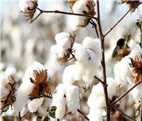البحوث الزراعية: القطن هذا العام مبشر.. وزيادة في المساحة المنزرعة