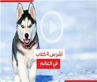 شاهد| أشرس 4 كلاب في العالم
