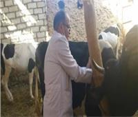 تحصين 25 ألف رأس ماشية ضد الحمى القلاعية والوادي المتصدع في بني سويف