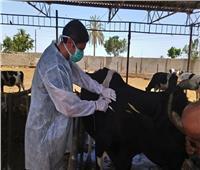 تحصين 3.4 مليون رأس ماشية ضد الحمى القلاعية والوادي المتصدع