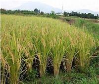 أهمها الإصابات الحشرية  ننشر توصيات الإرشاد الزراعي للحفاظ على محصول الأرز