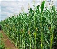 توصيات لمزارعي محصول الذرة الرفيعة خلال شهر أغسطس
