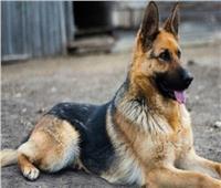 مكافأة لـ«كلب» أرشد عن سارق