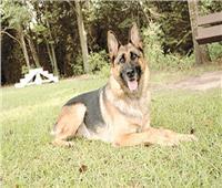 الشرطة تكافئ «رازا».. «كلب الجيران» ألقى القبض على اللص قبل فراره