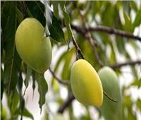 الزراعة: محصول المانجو تأثر كثيرًا بارتفاع الحرارة