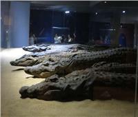 حكايات  «الحيوان الموقر» بأسوان.. أضخم متحف للتماسيح في العالم