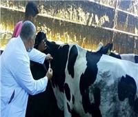 تحصين ١٨٦ ألف رأس ماشية ضد الحمى القلاعية والوادي المتصدع بالغربية