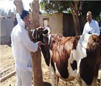 تحصين ١٨٨ ألف رأس ماشية ضد الحمى القلاعية والوادي المتصدع بالغربية