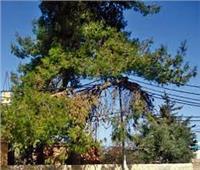 تعرف على المسافات المسموح بها لزراعة شجرة بجوار أسلاك الكهرباء