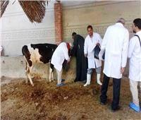 تحصين ٢٠٠ ألف رأس ماشية ضد الحمى القلاعية بالغربية