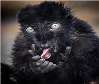 حكايات  هل قرد أم قط ؟.. «الليمور» يخلع القلوب بصرخاته المرعبة