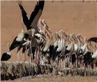 حكايات  محمية الزرانيق.. طيور العالم المهاجرة في «حماية مصرية»