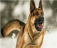 الكلاب الضالة تهدد قاطنيالتجمع الخامس.. والسكان يستغيثون