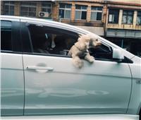 5000 جنيه إسترليني.. غرامة عدم ربط حزام الأمان لـ«الكلاب»