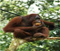 حكايات  «إنسان الغاب».. أذكى الحيوانات يبكي ويضحك كالبشر