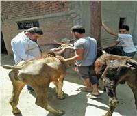 علاج 6 آلاف و505 رؤوس ماشية وطيور بقافلتين بيطريتين بالشرقية