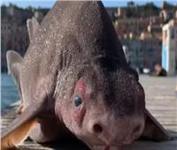 نوع نادر لسمكة «قرش» بوجه «خنزير» | فيديو
