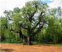أغلى 5 أشجار تاريخية.. إحداها يعود تاريخها إلى 2200 عام