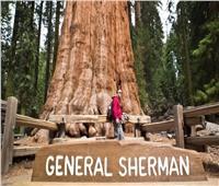 تحاصرها النيران  «الجنرال شيرمان».. أكبر شجرة في العالم تواجه شبح الموت