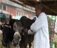 اليوم.. إنطلاق الحملة القومية للتحصين الماشية ضد مرض طاعون