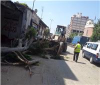 لتوسعة الطريق.. حي أول طنطا يزيل أقدم شجرة معمرة أمام سجن طنطا العمومي