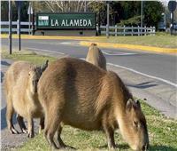 وزنه 80 كيلو جراماً..«خنزير البحر» يغزو أحد أحياء عاصمة الأرجنتين