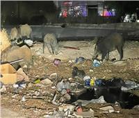 «الخنازير البرية» تغزو حي النصر بالعاصمة في تونس