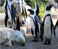 """مقتل عشرات من طيور البطريق """"بلدغ النحل"""" بجنوب إفريقيا"""