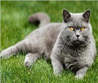 أغلى أنواع القطط .. أبرزها قطط «السافانا وأشيرا»