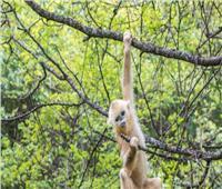 قرد يخطف جروا رهينة لمدة ثلاثة أيام على رأس شجرة  فيديو