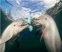 الصفير ساعد العلماء في حل شيفرة أصوات الدلافين