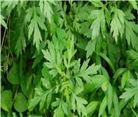 منها علاج تضخم البروستاتا.. ٧ فوائد لعشبة البعثيران