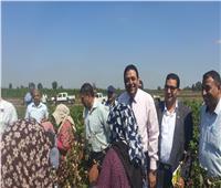 فيديو | انطلاق موسم جنى محصول القطن وسط فرحة مزارعى المنوفية