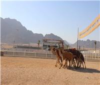 محافظ جنوب سيناء يتفقد الاستعدادات النهائية لإقامة بطولة شرم الشيخ للهجن