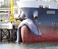 وزنه خمسة أطنان.. نفوق حوت معلقًا في مقدمة سفينة نفط   صور