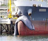 سفينة حاويات تقتل حوتا يزن 5 أطنان في اليابان
