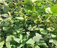 يوم حقلي إرشادي لفول الصويا لتوعية المزارعين بتحقيق أعلى إنتاجية بالشرقية