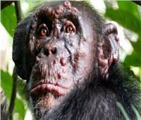 أحدث الاكتشافات العلمية.. رصد الجذام في الشمبانزي