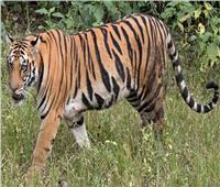 الببر البنغالي أكبر القطط البرية الموجوده في العالم
