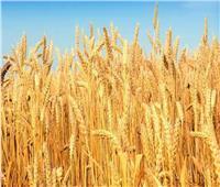 المركزي للإحصاء: مصر تحقق اكتفاء ذاتيا من القمح بنسبة 60%